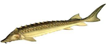 Збереження та торгівля осетровими видами риб