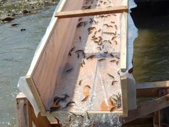 Лопушнянським форелевим заводом буде вселено 150 тис. екз. молоді риб