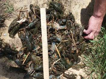 Протягом дня порушники виловили понад 2 тис. екз. раків зі збитками на 57 тис. грн, - Донецький рибоохоронний патруль