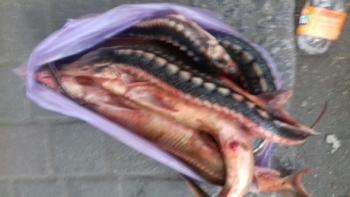 В Одесі виявлено незаконну реалізацію червонокнижної севрюги, - рибоохоронний патруль Одещини