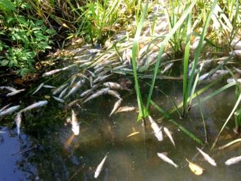 У річці Гуйва виявлено 8 тис. екз. загиблої риби зі збитками на 2,3 млн грн, - Житомирський рибоохоронний патруль