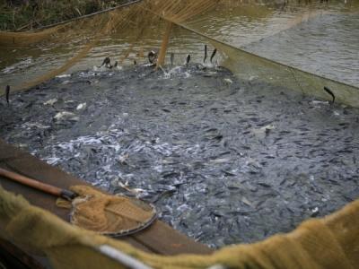 Оголошено прийом заявок на участь в конкурсі за напрямами селекція у рибному господарстві та відтворення водних біоресурсів