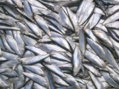 Вилучено 26 тонн тюльки на 4 млн грн збитків, - Азовський рибоохоронний патруль
