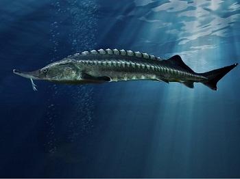 А що ви знаєте про осетрові види риб?