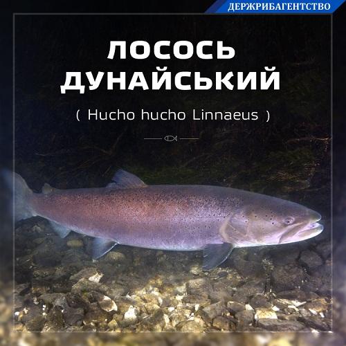 А що ви знаєте про лосося дунайського?