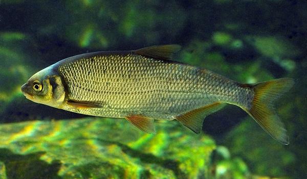 А що ви знаєте про рибця звичайного?