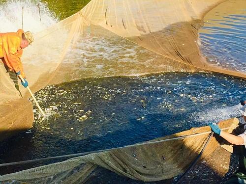 Новокаховським рибзаводом у Каїрську затоку Каховського водосховища вселено понад 120 тис. екз. цьоголіток риби