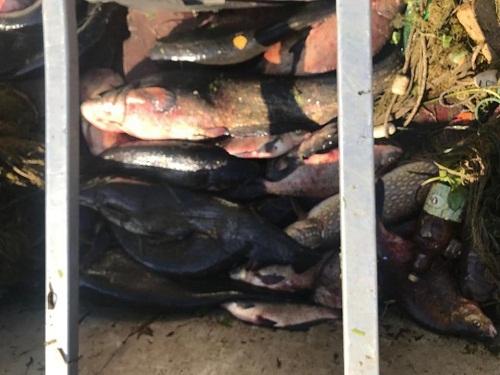 Київським рибоохоронним патрулем викрито промисловиків з 100 кг риби на 48 тис. грн збитків