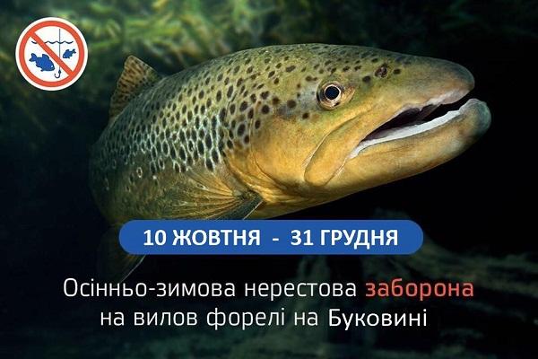 З 10 жовтня у гірських річках Буковини розпочинається нерест струмкової форелі