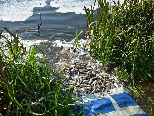 Херсонським рибзаводом вселено понад 200 тис. екз. молоді риби у водойми Сумської області