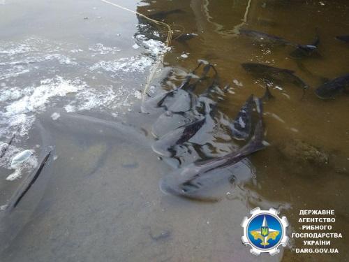 Кременчуцьке водосховище поповнилось 30 тоннами риби