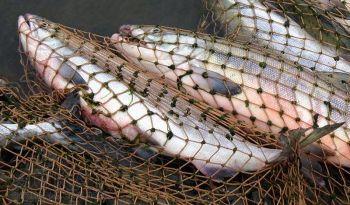 Напередодні нересту рибоохорона посилила контроль на водоймах, - Держрибагентство