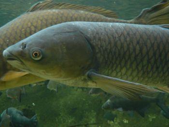 Обсяги вилову риби за січень - квітень 2015 року