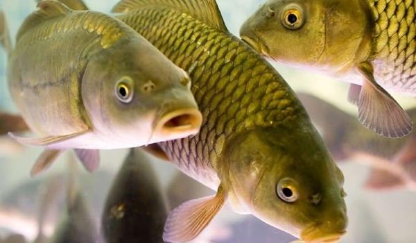 Від початку року експорт української живої риби зріс у 3 рази