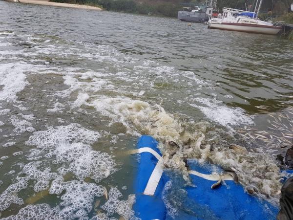 У Київське водосховище випустили понад 15 тонн мальків риби