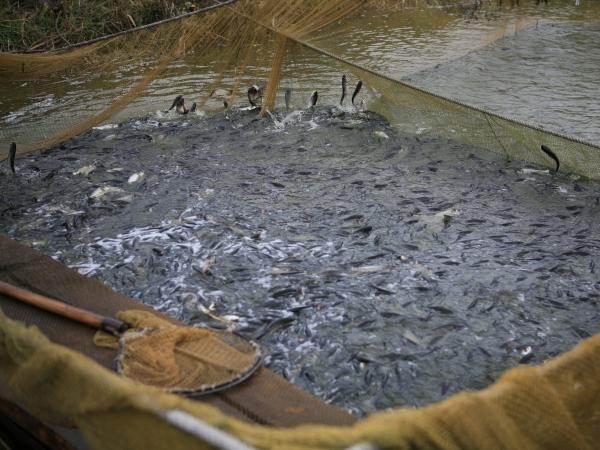 У водосховища Вінницької області вселять 481 тис. екз. малька риб