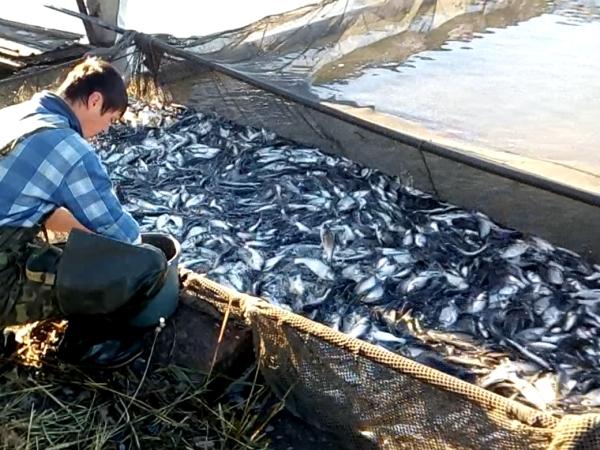 Протягом тижня до водойм Дніпропетровської області буде випущено понад 50 тонн мальків риби