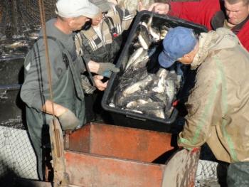 У Курахівське водосховище вселили понад 20 тонн риби