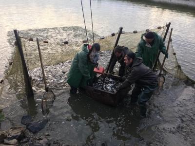 Протягом тижня у Кременчуцьке водосховище випустять 74 тонни риби