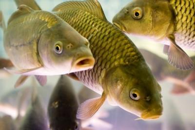 Майже половина вирощеної української риби – коропові