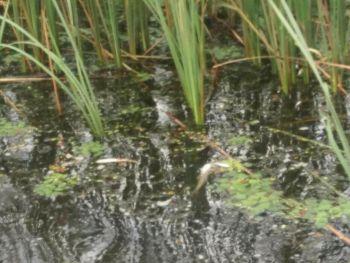 Рибний  патруль Київщини ініціював створення комісії по факту загибелі риби на Тетереві