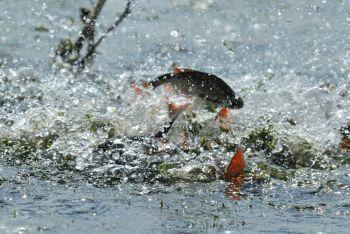 9 червня на деяких водоймах України закінчується нерестова заборона на вилов риби
