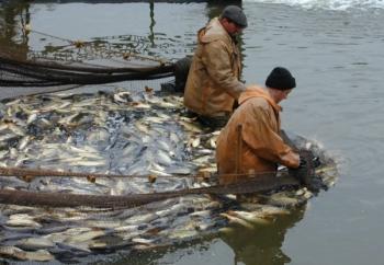 Держава готова витратити втричі більше грошей на утримання маточного стада за програмою «Селекція у рибному господарстві»