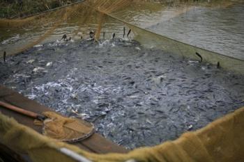Держава готова заплатити втричі більше за мальок за програмою «Відтворення у рибному господарстві»