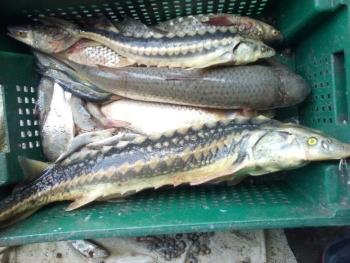 Азовський рибоохоронний патруль затримав порушників, що ловили червонокнижні види риб